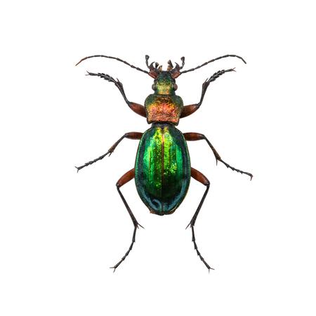 carabidae: Ground beetle Calosoma inquisitor female or caterpillar-hunter isolated on white background
