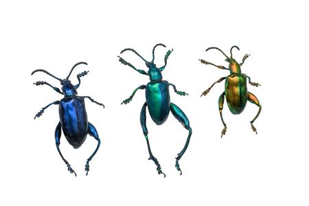 carabidae: collection of ground beetles (carabidae), isolated on white background Stock Photo