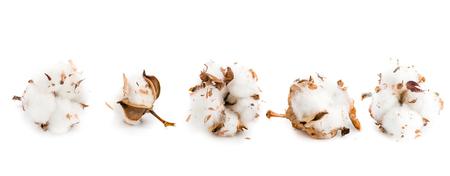 cotton flowers close up