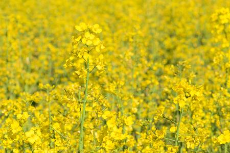 Rape flowers on the canola field