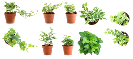 Set of pot plant ivy Hedera different types isolated on a white