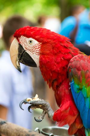 red Parrot eats nut large ara close up Stockfoto