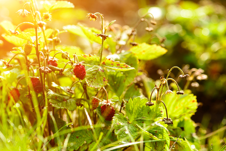 red strawberry on a bush, Red berries of strawberries on twigs on a clear sunny day Stockfoto