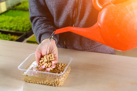 female hands poured water on pea grain, preparing for planting for growing chickpea micro green
