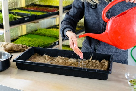 female hands poured water on pea grain, preparing for planting for growing chickpea microgreen