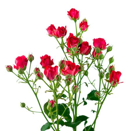 red and pink spray rose isolated, Flowers of climbing rose isolated on white background