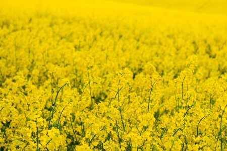 Fields of rapeseed at sunset Stock Photo - 150319525