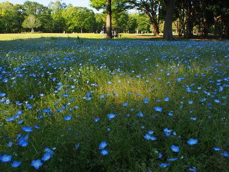Park flowered nemophila