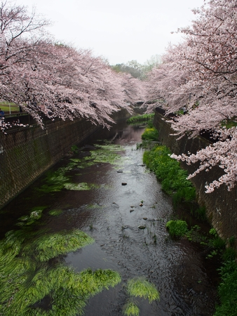 Cherry Blossom River aquatic plants on both sides