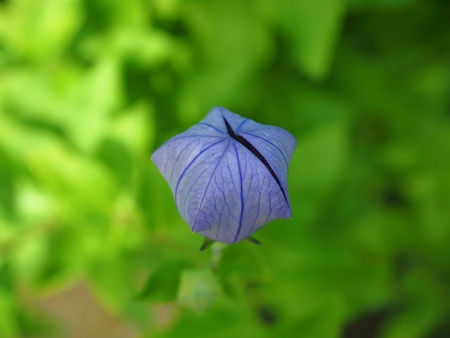 kikyou Platycodon grandiflorus, ballon flower or chinese bellflower
