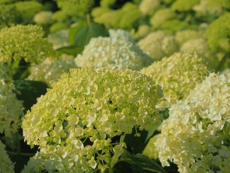 Ajisai Annabelle Flower Stock Photo 107144410