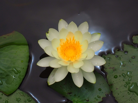 suiren nymphaea water lily, Japan