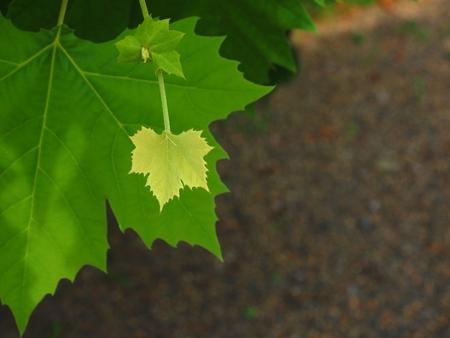 fresh green baby maple leaf