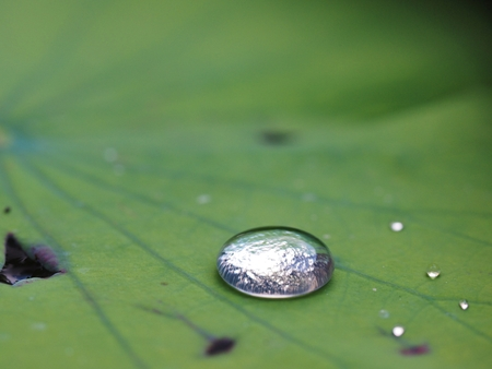 A Lotus effect, Water drop on water lily