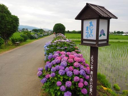 ajjisai matsuri Hydrangea fes, Japan.