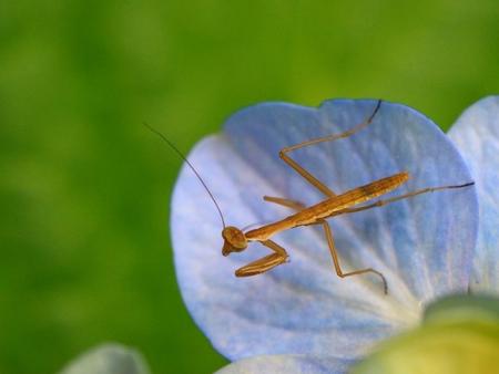 larva of mantis on hydrangea petals Archivio Fotografico