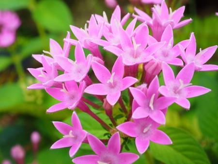 Pentas lanceolata flower