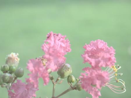 Sarusuberi Crape myrtle in mid summer