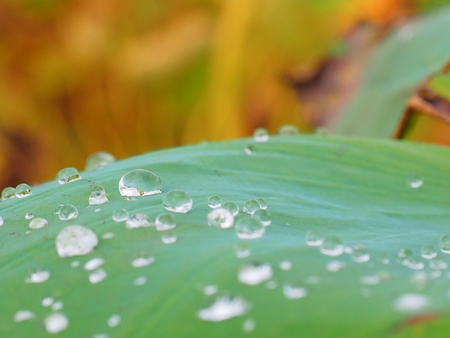 A Lotus effect, Water drop on water lily leaf