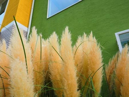 pampas grass over green wall