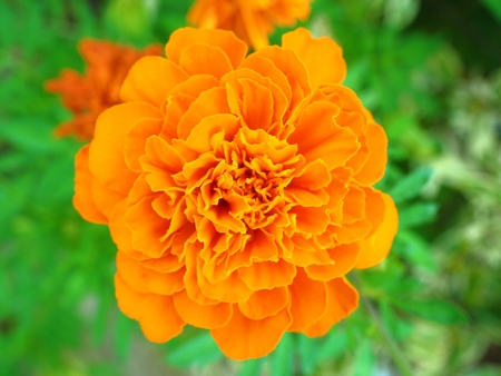 Marigold Tagetes Patula flower