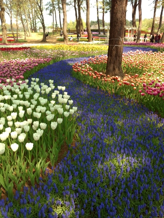 colorful tulip and violet muscari flower