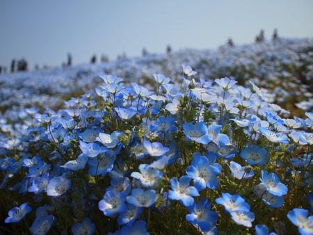 nemophila flower field 写真素材