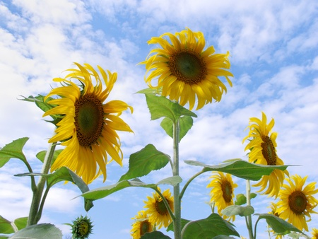 Sunflower Field with beautiful sky background Stock Photo - 15142144