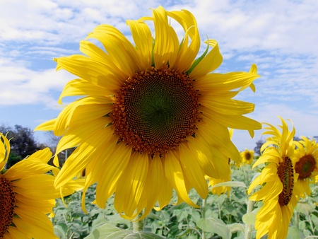 Sunflower Field with beautiful sky background Stock Photo - 16309405