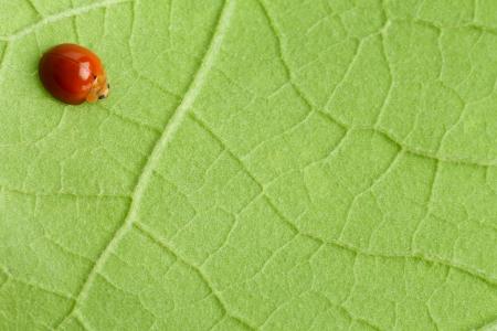 ladyfly: Red ladybug (ladybird, the beetle) on green leaf background