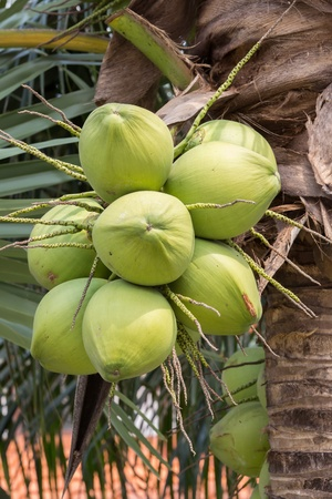 Bunch of young coconuts in Thailand photo