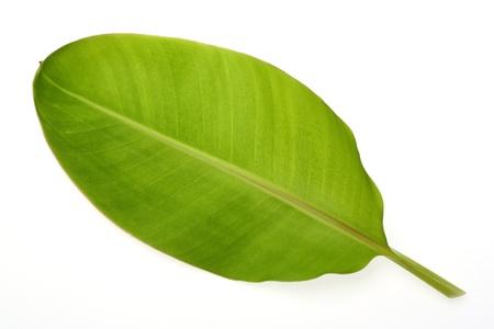 Banana leaf isolated on white photo
