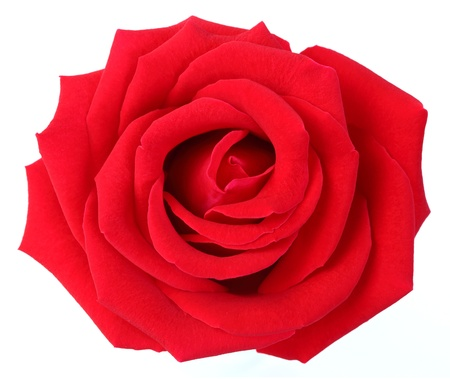 Red rose isolated on white photo
