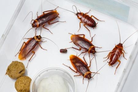 Amerikaanse kakkerlak - Periplaneta Americana in doos met voedsel en water Stockfoto