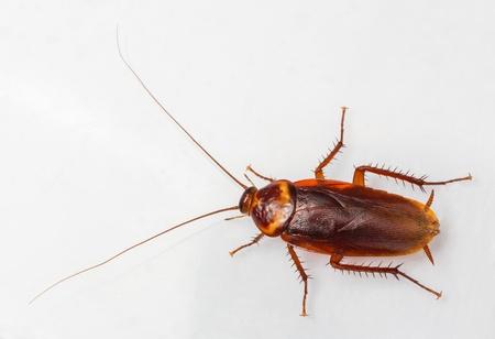 Amerikaanse kakkerlak - Periplaneta Americana geïsoleerd op wit Stockfoto