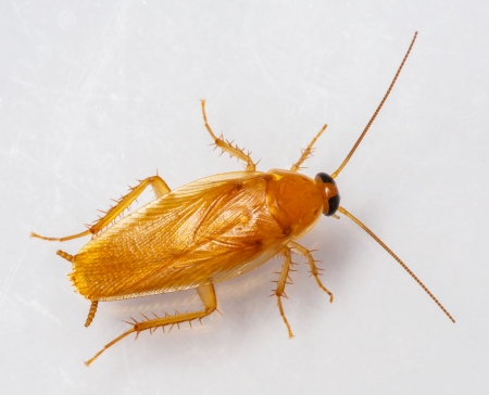 Smooth cockroach - Symploce pallens isolated on white Stock Photo - 18098289