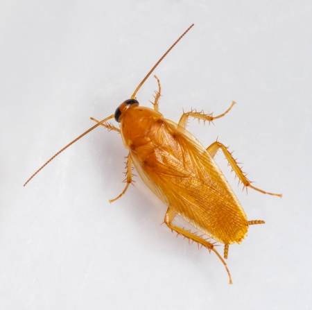 Smooth cucaracha - Symploce pallens aislado en blanco photo