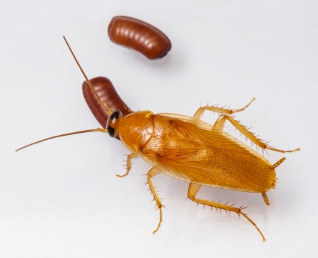 Smooth cockroach - Symploce pallens with egg sacks isolated on white photo