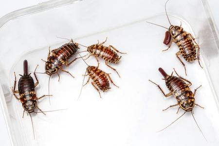 Harlequin Cockroach - Neostylopyga Rhombifolia with egg sack in plastic box Stock Photo - 18286785