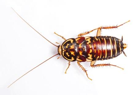 Harlequin Cockroach - Neostylopyga Rhombifolia isolated on white photo
