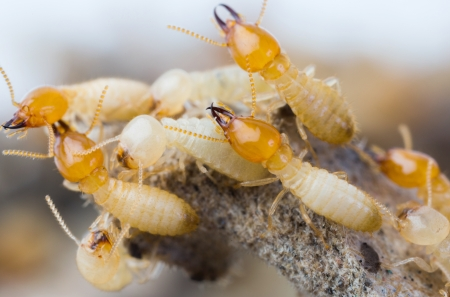pest: Close up termites or white ants in Thailand