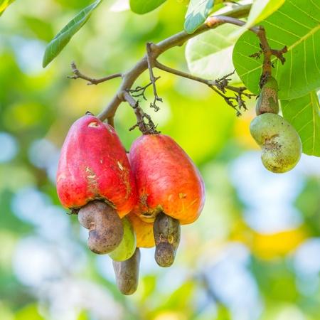cashew tree: Orange color cashew nut in garden Stock Photo