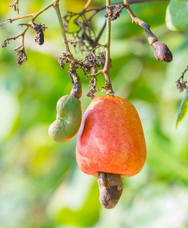 Orange color cashew nut in garden photo