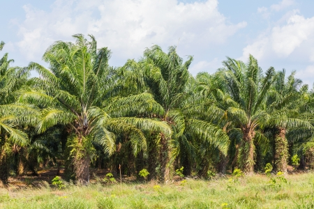 red palm oil: Palm plantation in eastern of Thailand