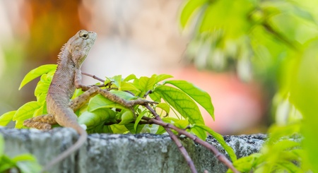 Close up Thai Chameleon on small tree branch photo