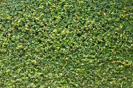 fichi: Bella ficus pumila lascia parete di fondo