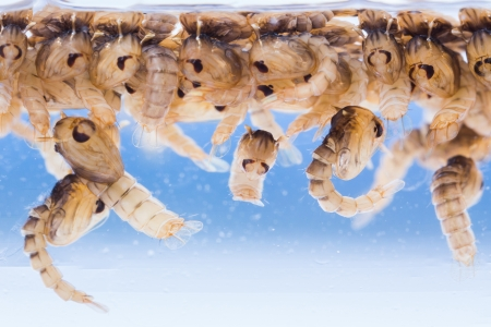 pupae: Close up Mosquito pupae underwater