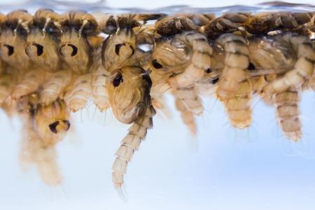 Close up Mosquito pupae underwater Stock Photo - 18955909