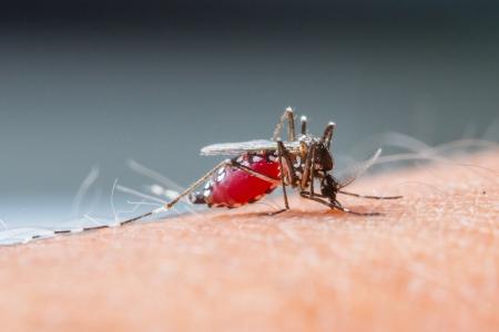 dengue: Close up di una zanzara che succhia il sangue umano Archivio Fotografico