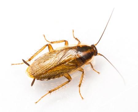 Cierre de Blattella germanica Cucaracha alemana aislada en blanco